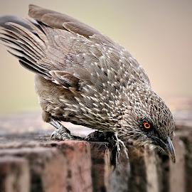 Arrow-marked Babbier by Pieter J de Villiers - Animals Birds