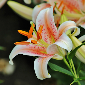 Orange and White Lilly by Terry Linton - Flowers Single Flower (  )