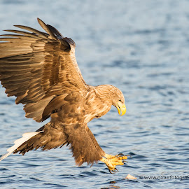 White-tailed eagle  by Dennis Hallberg - Animals Birds ( white-tailed eagle )