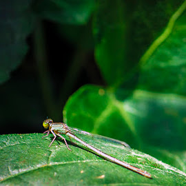 Green Dragonfly by Tobias Andersson - Animals Insects & Spiders ( macro, green, leaf, dragonfly, close up, china )