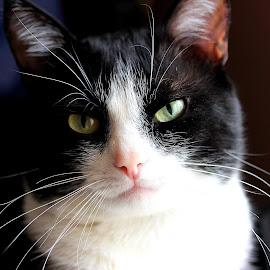 by Biljana Nikolic - Animals - Cats Portraits (  )