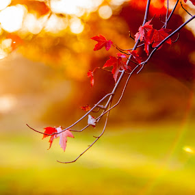 In the Wind by Relu Jianu - Nature Up Close Leaves & Grasses ( orange, red, fall, trees, moraine park, leaves )