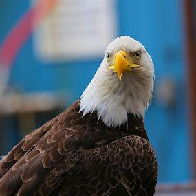 Pretty one by Capt Jack - Animals Birds ( amazing, fishing alaska, flight, wow, eagle, alaska, raptor, bering sea, bald eagles, birds, patriot )