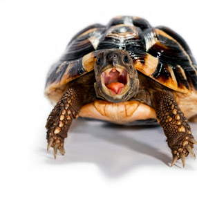 turtle by Vincenzo Bernardi - Animals Reptiles ( shell, spout, white background, claws, turtle, old age, hunger, bite, extinction, eat, language, earth, head, reptile, protect species, eye,  )