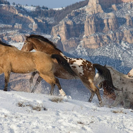 SNOWY MOUNTAIN RUN by Susan Byrd - Animals Horses