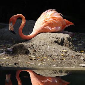 Flamingo Reflections by Jenny Gandert - Animals Birds