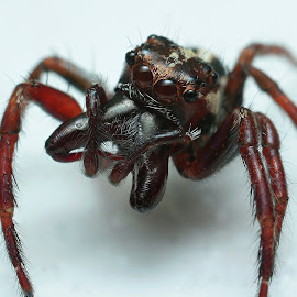 Jumping spider from Madagascar (Andasibe) by Serge Pasquasy - Animals Insects & Spiders