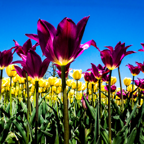 Tulip Field by Tina Hailey - Flowers Flower Buds ( tinas captured moments, field flower, tulips, flowers, yellow flower, purple flower,  )