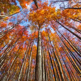 Beech forest by Stanislav Horacek - Landscapes Forests