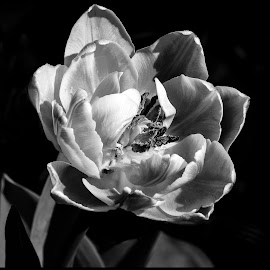 Tulip by Dave Lipchen - Black & White Flowers & Plants ( tulip )
