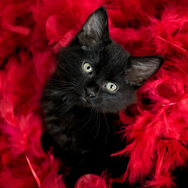 Black Kitten in Feathers by Sondra Sarra - Animals - Cats Kittens ( kitten, cat, fluffy, red, feathers, black )