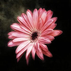 pink gerber1.jpg