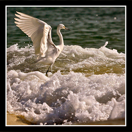 { Snowy Egret Engulfed in Surf ~ Running on Top of Sand Berm ~ 2 July }  by Jeffrey Lee - Animals Birds ( { snowy egret engulfed in surf ~ running on top of sand berm ~ 2 july } )