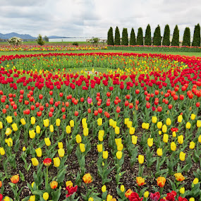 Tulips by Nancy Young - Flowers Flower Gardens ( colorful, gardens, tulips, flowers, landscape,  )