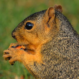 Squirrel by Marvin White - Animals Other Mammals ( wild animal, wild, wild life, wildlife, squirrel )