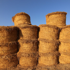 Haystack firms by Al Mamun Abdullah - Landscapes Travel ( animals, grass, food, travel, landscape, golden, travel photography )
