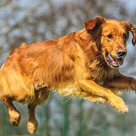 Agility  by Simon Barrassy - Animals - Dogs Running ( golden retriever )