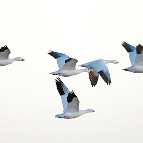 Snow Geese Migration 3 by Cody Hoagland - Animals Birds