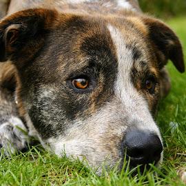 Jeb by Tim Bennett - Animals - Dogs Portraits ( animals, pet, dog, domestic, portrait )