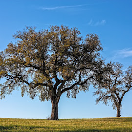Trees Of Life by Carlos Simões - Landscapes Prairies, Meadows & Fields ( trees, fields, relax, tranquil, relaxing, tranquility )