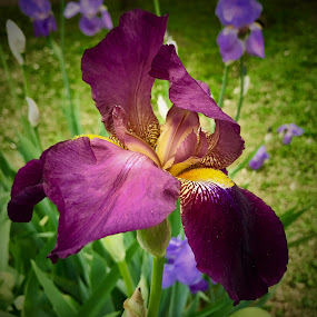 Iris by Lorna Littrell - Flowers Single Flower ( nature, single flower, nature up close, iris, flower,  )