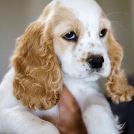 Dottie by Steven Karum - Animals - Dogs Puppies ( furry, cocker spaniel, fur, puppie, cute, dog )