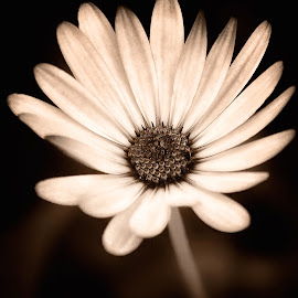 Look Up! by Spencer Van Der Walt - Uncategorized All Uncategorized ( b&w, south africa, daisy, africa, garden, lowveld, flower, mpumalanga )