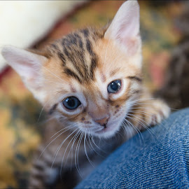 Can I come up? by Rob Ebersole - Animals - Cats Kittens ( bengal kitten, cat )