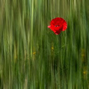Amapola by Daly Sda - Flowers Single Flower ( feel, amapola,  )