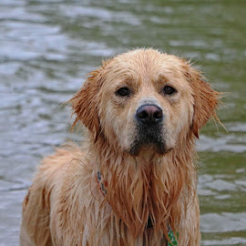 Waterlogged Water Dog by Kari Schoen - Animals - Dogs Portraits ( fetch, dog, golden retriever )
