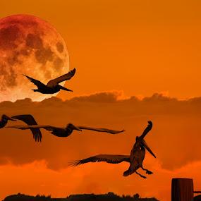 Five Pelicans by Carl Albro - Digital Art Animals ( orange, moon, sundown, pelicans, birds,  )