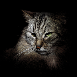 *** by Jurijs Ratanins - Animals - Cats Portraits ( look, mobilography, pet, portrait, animal )