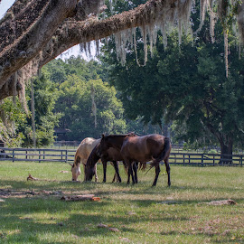 Three horses in pasture with live oak by Jackie Nix - Animals Horses ( mammals, bermuda grass, herbivores, grazing, horses, agriculture, georgia, lousiana, brood mares, alabama, equines, rural, farming, mississippi, pasture, ranching, pasture boarding, southern forages, florida, horse farm, pasture management, summer, animal science, stables, country landscape,  )