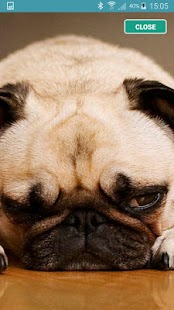 Pug Wallpaper HD - screenshot