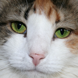 Chloe by Kari Schoen - Animals - Cats Portraits ( calico, cat face, cat, cat eyes, cat portrait, green eyes, portrait, calico cat )