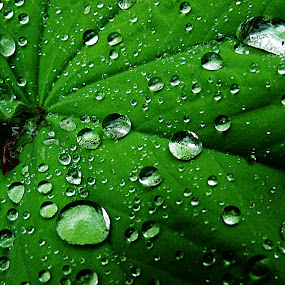 Droplets on Leaf by Kelly Williams - Nature Up Close Leaves & Grasses ( life, nature, awesome, leaf, natural, droplets, colours,  )