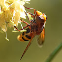 Hornet Mimic Hoverfly