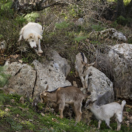 Animals at play, Chicca playmate and guardian by Pixie Simona - Animals - Dogs Playing ( spring, green, baby goats, playtime, guardian, fresh, dog, playful, wild, dog goats,  )