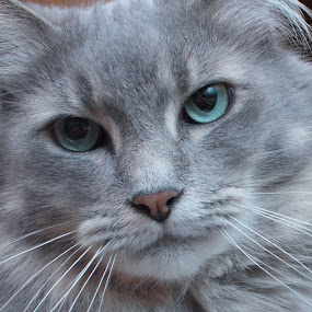 Beautiful Boy by Tina Stevens - Animals - Cats Portraits ( cat gray grey kitty blue green eyes, whiskers, feline, kitty, portrait, Dogs, Cats, Pets, Rabbits, Animals, pet, livestock, cows, pwc84, face, photography, closeup, close, up, , #GARYFONGPETS, #SHOWUSYOURPETS )