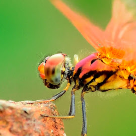 Dragonfly close up  by Francois Wolfaardt - Animals Insects & Spiders