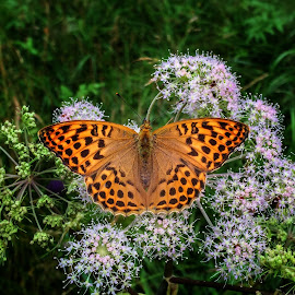 Summer Beauty by Katarina Farelius - Nature Up Close Other Natural Objects ( #butterfly #wildflower #summer #orange #beauty,  )