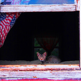 Kitten in a window by Jana Angelucci - Animals - Cats Portraits ( window cats flag )