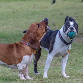 Why is he yelling at me? by Andrew Russell - Animals - Dogs Playing ( fetch, dog park, ball, dogs, barking, boston terrier, basset hound )