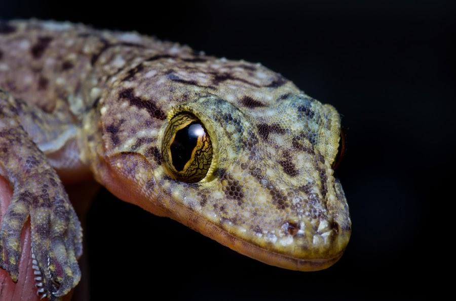the big eyes by Roy Ng - Animals Reptiles ( nature, aminal, wildlife, reptile, eyes )