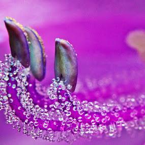 dews drops by Nopri M - Nature Up Close Flowers - 2011-2013