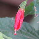 Mexican Turks Cap