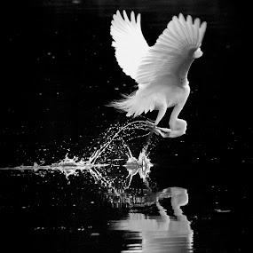 The Hunter by Mahdi Hussainmiya - Animals Birds ( water splashes, black and white, action, white, hunting, reflections )