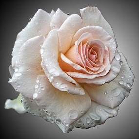 HI rose 77 by Michael Moore - Flowers Single Flower (  )