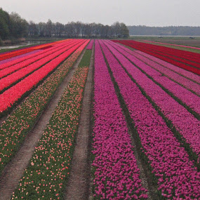 Tulip 1 by BertJan Niezing - Landscapes Prairies, Meadows & Fields ( field, colour, tulip, netherlands, flower )