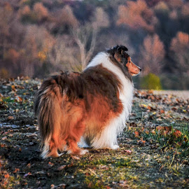 Doggie Dream by Tim Hall - Animals - Dogs Portraits ( sheltland sheepdog, sheltie )